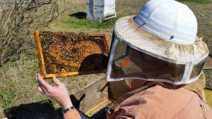 Bob Gaddis inspecting a frame from my first colony